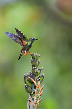 Buff-tailed Coronet (Boissonneaua flavescens) hummingbird landing, Bellavista Cloud Forest Reserve, Ecuador  -  Tui De Roy