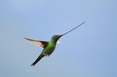 Sword-billed Hummingbird (Ensifera ensifera) flying, Yanacocha Reserve, Ecuador  -  Tui De Roy