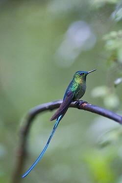 Violet-tailed Sylph (Aglaiocercus coelestis) hummingbird, Guango, Papallacta, Ecuador  -  Tui De Roy