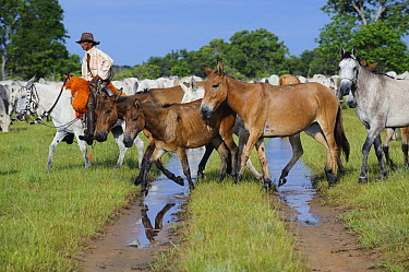 Domestic Horse (Equus caballus) and Domestic Cattle (Bos taurus) herd on road with cowboy, Pantanal, Brazil  -  Luciano Candisani