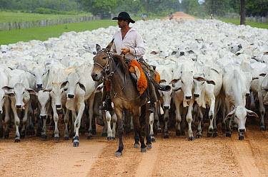 Domestic Cattle (Bos taurus) herd on road with cowboy, Pantanal, Brazil  -  Luciano Candisani