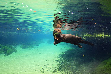 Giant River Otter (Pteronura brasiliensis) swimming, Bodoquena Plateau, Brazil  -  Luciano Candisani