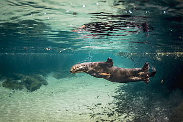 Giant River Otter (Pteronura brasiliensis) swimming, Bodoquena Plateau, Brazil