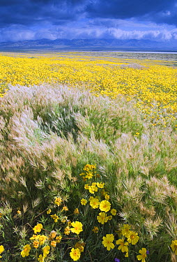 Tickseed (Coreopsis calliopsidea) and Foxtail (Vulpia sp), Carrizo Plain National Monument, California  -  Kevin Schafer