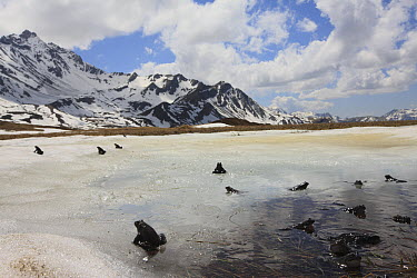 Common Frog (Rana temporaria) group on ice covering parts of breeding pond at around 2000 meters, Alps, France  -  Cyril Ruoso