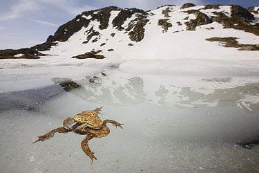 European Toad (Bufo bufo) pair in amplexus in icy water at around 2000 meters, Alps, France  -  Cyril Ruoso