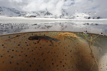 Alpine Newt (Ichthyosaura alpestris) in breeding pond with frog egg spawn at 2000 meters elevation, Alps, France  -  Cyril Ruoso