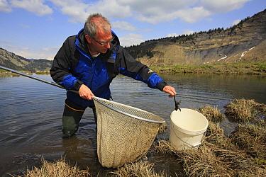 Common Frog (Rana temporaria) biologist Claude Miaud putting individual into bucket, Alps, France  -  Cyril Ruoso