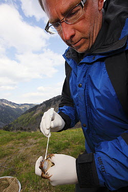 Common Frog (Rana temporaria) biologist Claude Miaud testing for signs of the deadly chytrid fungus, Alps, France  -  Cyril Ruoso