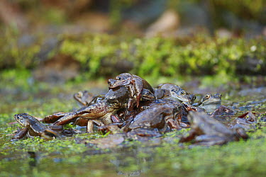 Common Frog (Rana temporaria) males competing over female, Burgundy, France  -  Cyril Ruoso