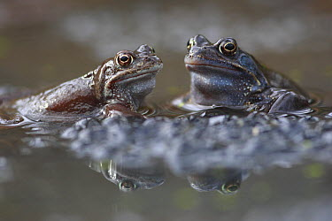 Common Frog (Rana temporaria) males on spawn waiting for females, Burgundy, France  -  Cyril Ruoso