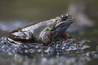 Common Frog (Rana temporaria) male on spawn waiting for females, Burgundy, France  -  Cyril Ruoso