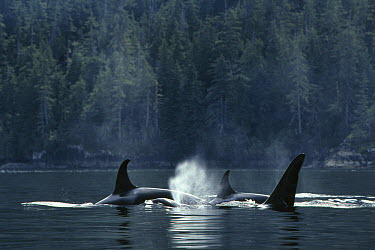 Orca (Orcinus orca) pod surfacing, Johnstone Strait, British Columbia, Canada  -  Hiroya Minakuchi
