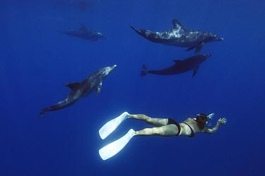 Indo-pacific Bottlenose Dolphin (Tursiops aduncus) pod and diver, Ogasawara Islands, Japan  -  Hiroya Minakuchi