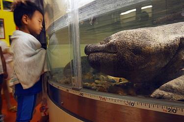 Chinese Giant Salamander (Andrias davidianus) in aquarium, Honshu, Japan  -  Cyril Ruoso