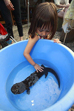 Japanese Giant Salamander (Andrias japonicus) being touched by child at the salamander festival in Yubara, Honshu, Japan  -  Cyril Ruoso