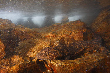 Japanese Giant Salamander (Andrias japonicus) camouflaged in stream, Honshu, Japan  -  Cyril Ruoso