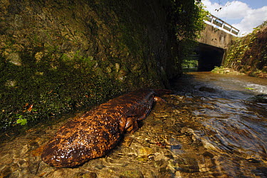 Japanese Giant Salamander (Andrias japonicus) next to artificial bank from rice paddy, Honshu, Japan  -  Cyril Ruoso