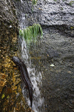 Japanese Giant Salamander (Andrias japonicus) on artificial bank from rice paddy, Honshu, Japan  -  Cyril Ruoso