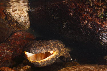 Japanese Giant Salamander (Andrias japonicus) male displaying, Honshu, Japan  -  Cyril Ruoso