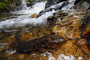 Japanese Giant Salamander (Andrias japonicus) on shore near stream, Honshu, Japan  -  Cyril Ruoso