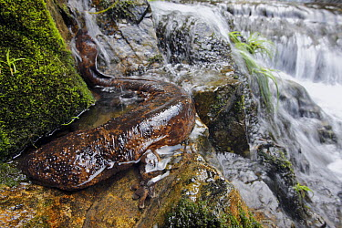 Japanese Giant Salamander (Andrias japonicus) on stream bank, Honshu, Japan  -  Cyril Ruoso