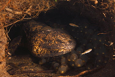 Japanese Giant Salamander (Andrias japonicus) male guarding nest with eggs, Honshu, Japan  -  Cyril Ruoso
