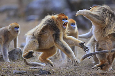 Golden Snub-nosed Monkey (Rhinopithecus roxellana) males fighting during mating season, Qinling Mountains, China  -  Cyril Ruoso