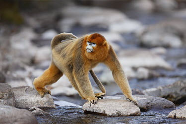 Golden Snub-nosed Monkey (Rhinopithecus roxellana) male crossing stream, Qinling Mountains, China  -  Cyril Ruoso
