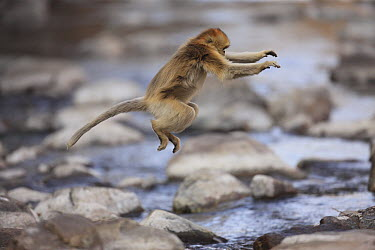 Golden Snub-nosed Monkey (Rhinopithecus roxellana) jumping across stream, Qinling Mountains, China  -  Cyril Ruoso