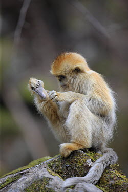 Golden Snub-nosed Monkey (Rhinopithecus roxellana) male grooming, Qinling Mountains, China  -  Cyril Ruoso