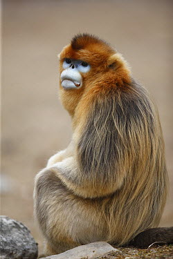 Golden Snub-nosed Monkey (Rhinopithecus roxellana) male, Qinling Mountains, China  -  Cyril Ruoso