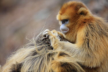 Golden Snub-nosed Monkey (Rhinopithecus roxellana) female grooming male, Qinling Mountains, China  -  Cyril Ruoso