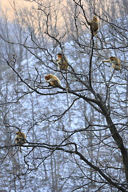 Golden Snub-nosed Monkey (Rhinopithecus roxellana) troop eating bark, Qinling Mountains, China  -  Cyril Ruoso