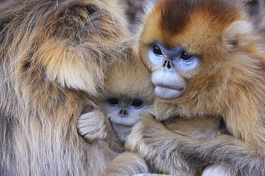 Golden Snub-nosed Monkey (Rhinopithecus roxellana) females with young huddled up against each other to keep warm, Qinling Mountains, China  -  Cyril Ruoso