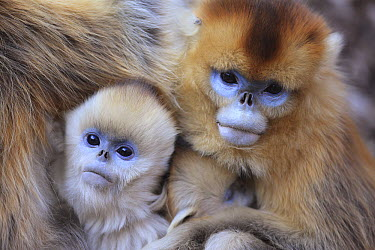 Golden Snub-nosed Monkey (Rhinopithecus roxellana) females and young huddled up against each other to keep warm, Qinling Mountains, China  -  Cyril Ruoso