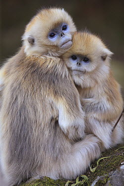 Golden Snub-nosed Monkey (Rhinopithecus roxellana) juveniles huddled up against each other to keep warm, Qinling Mountains, China  -  Cyril Ruoso