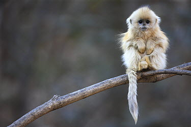 Golden Snub-nosed Monkey (Rhinopithecus roxellana) juvenile, Qinling Mountains, China  -  Cyril Ruoso