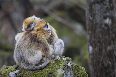 Golden Snub-nosed Monkey (Rhinopithecus roxellana) females huddled up against each other to keep warm, Qinling Mountains, China  -  Cyril Ruoso