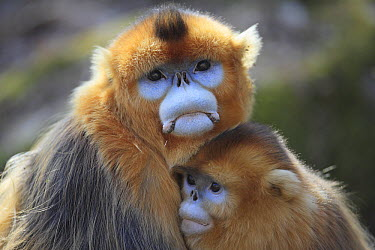 Golden Snub-nosed Monkey (Rhinopithecus roxellana) male and female huddled up against each other to keep warm, Qinling Mountains, China  -  Cyril Ruoso
