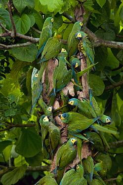 Red-bellied Macaw (Ara manilata) flock feeding on palm, Amazon, Ecuador  -  Murray Cooper