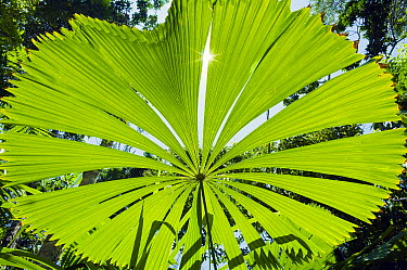 Licuala Fan Palm (Licuala ramsayi) leaf, Licuala State Forest, Mission Beach, Queensland, Australia  -  Kevin Schafer