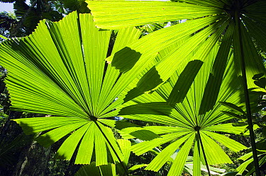 Licuala Fan Palm (Licuala ramsayi) leaves, Licuala State Forest, Mission Beach, Queensland, Australia  -  Kevin Schafer