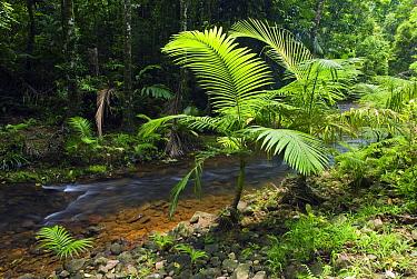 Alexandra Palm (Archontophoenix alexandrae) along creek, Mission Beach, Queensland, Australia  -  Kevin Schafer