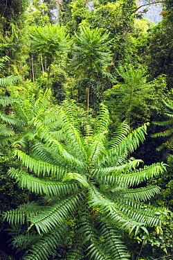 Pencil Cedar (Polyscias murrayi) trees in rainforest, Wooroonooran National Park, Atherton Tableland, Queensland, Australia  -  Kevin Schafer