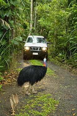 Southern Cassowary (Casuarius casuarius) male with chick on busy road, Atherton Tableland, Queensland, Australia  -  Kevin Schafer