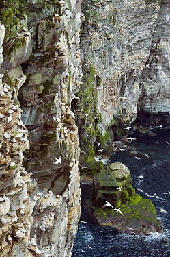 Northern Gannet (Morus bassanus) breeding colony on the Isle of Noss, a National Nature Preserve in the Shetland Islands, United Kingdom  -  Kevin Schafer