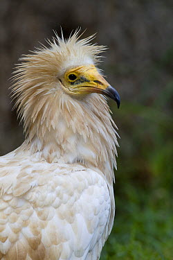 Egyptian Vulture (Neophron percnopterus), native to Africa, Europe, and Asia  -  ZSSD