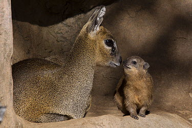 Klipspringer (Oreotragus oreotragus) and Rock Hyrax (Procavia capensis) interacting, native to Africa  -  ZSSD