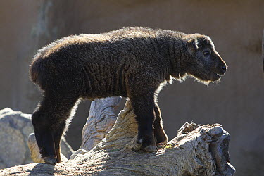 Takin (Budorcas taxicolor) young, native to the Himalayas  -  ZSSD